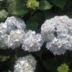 Гортензия крупнолистная «Endl. Summer White Bride»