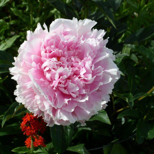 Пион Молочноцветковый Double Pink