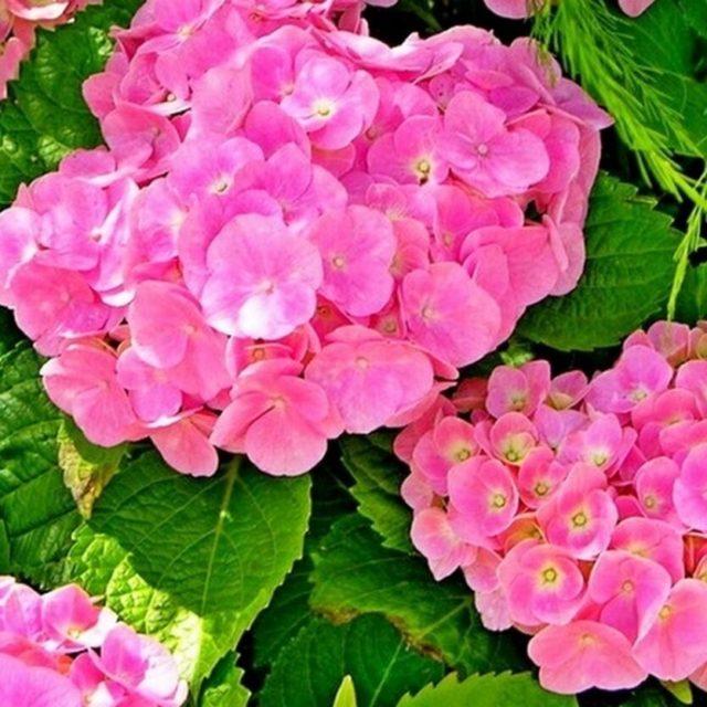 Гортензия крупнолистная «Forever&Ever White/Pink»