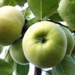 Яблоня Сортосмесь