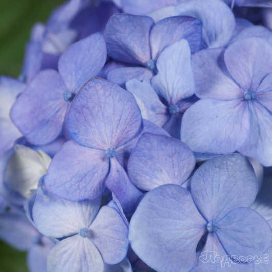 Гортензия крупнолистная «Endl. Sum. Blue Bloomstar»