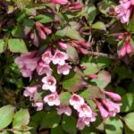 Вейгела цветущая «Foliis Purpureis»