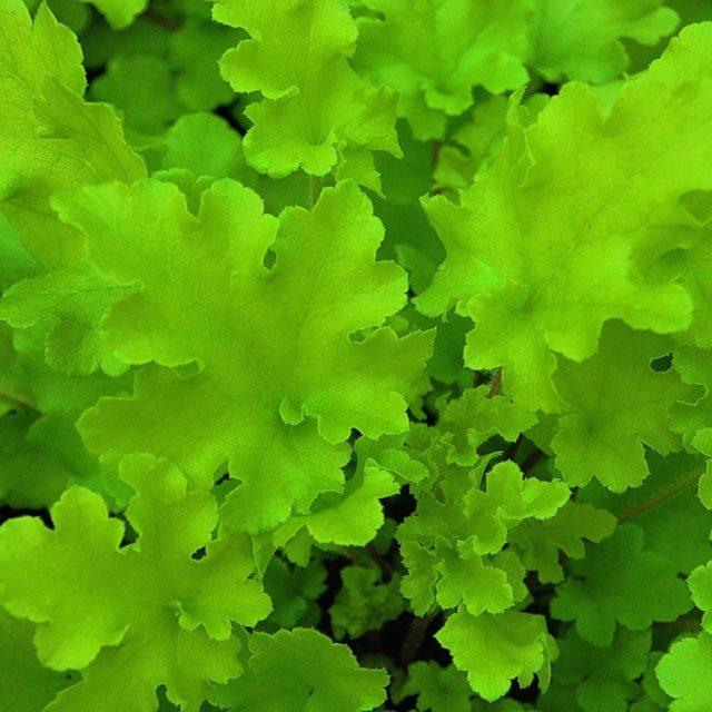 Гейхера Lime Marmalade