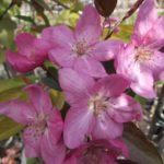 Яблоня декоративная «Ola»