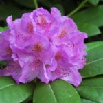 Рододендрон катевбинский «Grandiflorum»