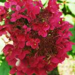 Гортензия метельчатая «Wims Red»