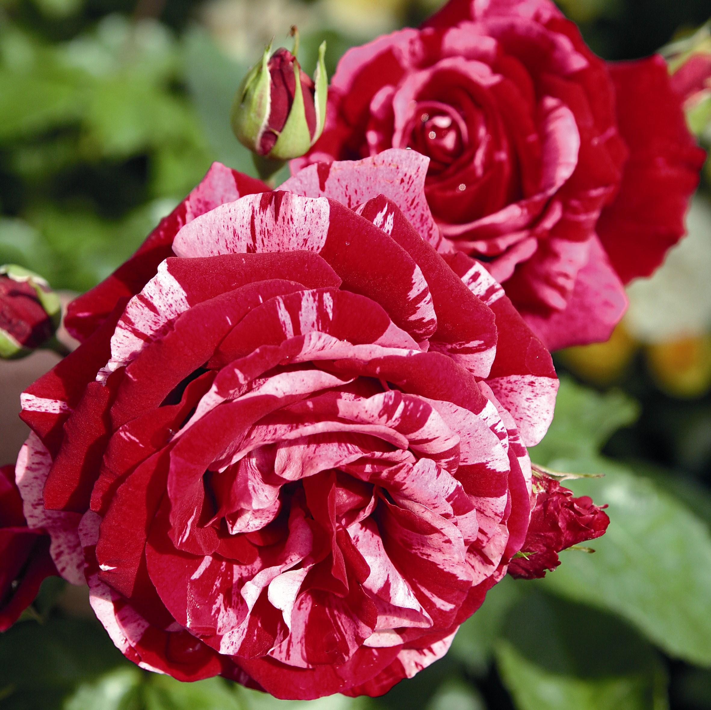 Сказочные розы сорта