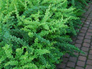 Барбарис Тунберга «Green Carpet»