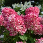 Гортензия метельчатая «Pink Diamond»
