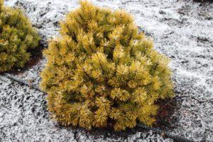Сосна горная «Winter Gold»