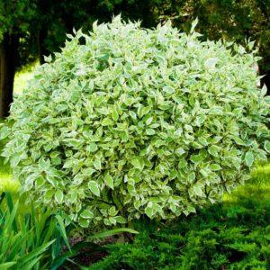 Дерен белый «Sibirica»