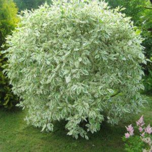 Дерен белый «Elegantissima»