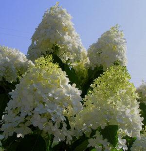 Гортензия метельчатая «Grandiflora»