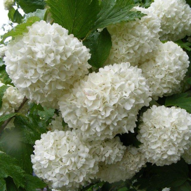 Калина обыкновенная «Roseum»