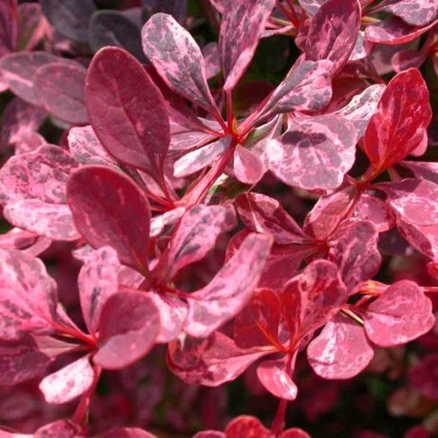 Барбарис Тунберга 'Rose Glow'