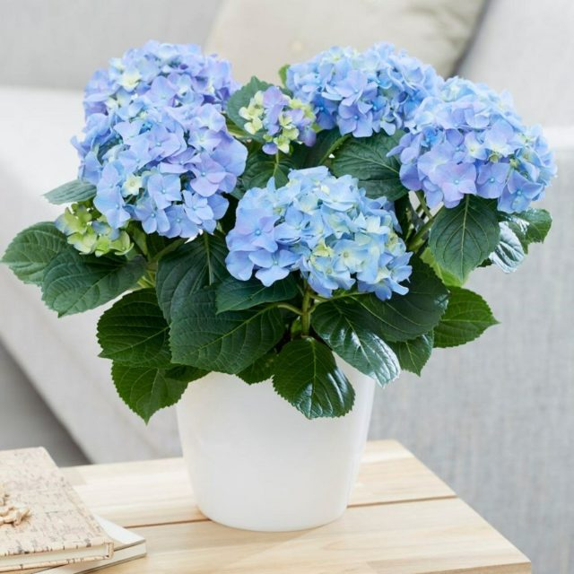 Гортензия крупнолистная «Three Sisters» Blue