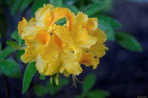 Рододендрон желтый