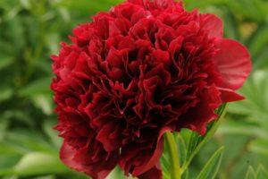 Пион Молочноцветковый Red