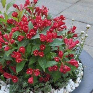 Вейгела цветущая «All Summer Red»